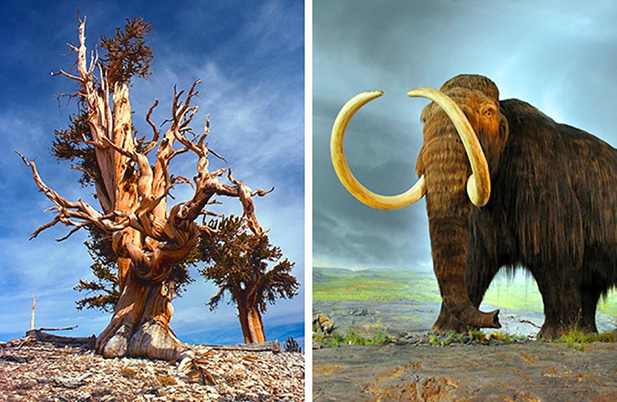 Dünya'nın en yaşlı ağacı