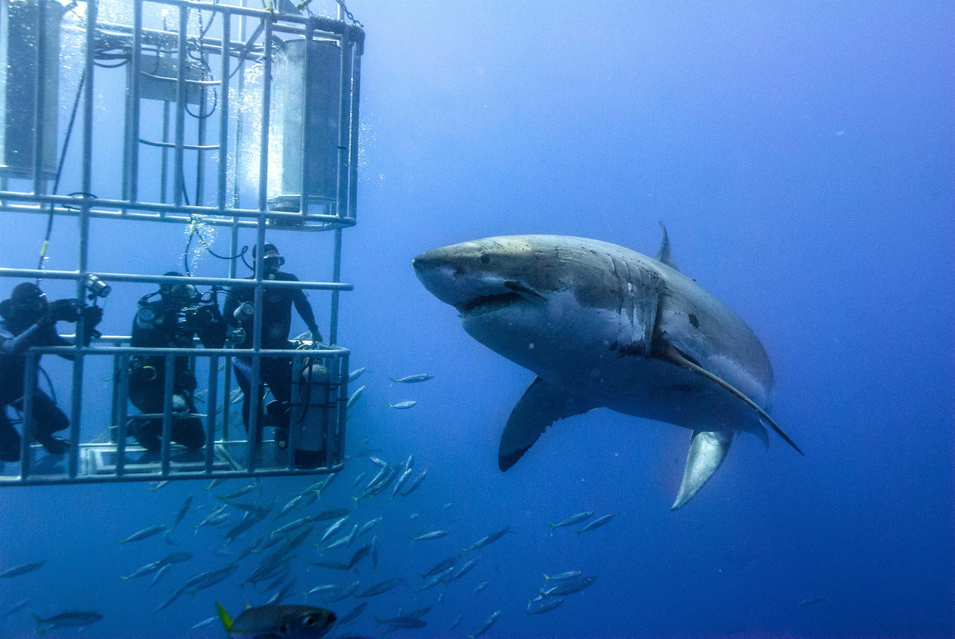 Adrenalin Bağımlıları için Köpekbalığı Dalışı