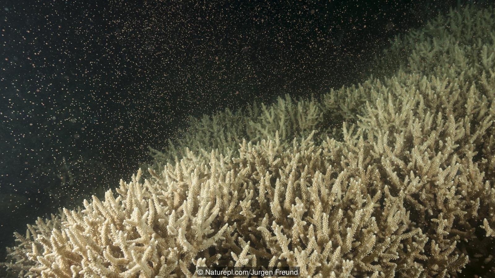 mercanların üremesi