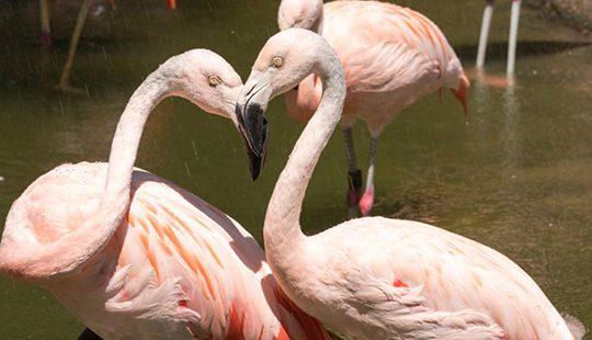 flamingolarla dans